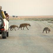 eine Hyänen-Familie kreuzt am frühen Morgen eine Straße im Etosha-Nationalpark, wo Touristen ab Sonnenaufgang die Fotoapparate bereithalten, um alles zu fotografieren, was sich nicht gut genug versteckt