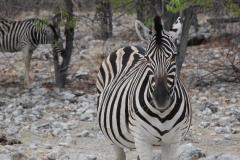 In einer grauen Gerölllandschaft sind Zebras erstaunlich gut getarnt
