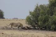 Aber egal wie viele Giraffen, Zebras, Antilopen zu sehen sind: der König der Tiere toppt alles