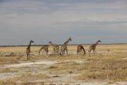 Kurz vor unserer Abfahrt konnten wir nochmal elf Giraffen auf einmal an einem Wasserloch sehen, so eine große Gruppe zeigt sich nicht immer