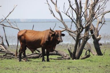 Viehhaltung ist eine der wichtigsten Einkommensquellen für die Batswana.