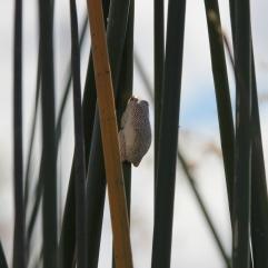 The African Reed Frog - afrikanischer Schilffrosch