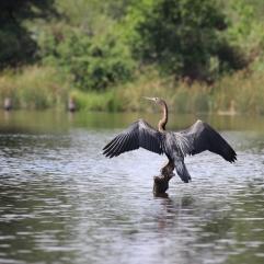 The African Darter - der Afrikanische Schlangenhalsvogel
