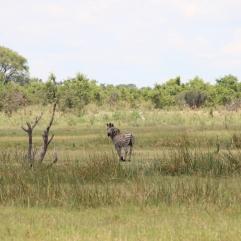 Die Stirn des Zebras schmückt eine diamantförmige Blesse. Als Wappentier Botswanas steht dieser Diamant des Zebras für den wichtigsten Wirtschaftszweig des Landes, der der Bevölkerung viel Wohlstand gebracht hat. Die schwarzen und weißen Streifen stehen für die Einheit und Gleichheit der schwarzen und weißen Bevölkerungsteile, erklärt uns Supa.
