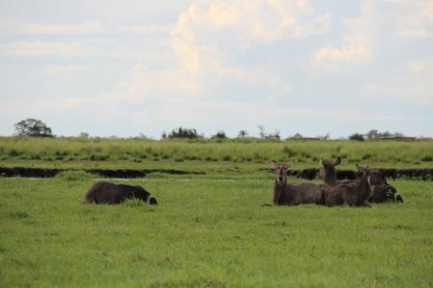 Wasserböcke, für den Laien leicht mit Eseln zu verwechseln.