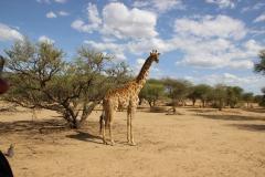 Über 200 Giraffen leben auf dem Gelände der Farm. Somit leistet Okapuka einen wichtigen Beitrag zum Erhalt der bedrohten Art