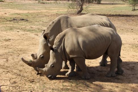 Fast hundert Nashörner wurden im vergangenen Jahr in Namibia gewildert, dabei gibt es nur noch weniger als tausend dieser Tiere im ganzen Land. Auf Okapuka werden die Nashörner deshalb tags und nachts von einer bewaffneten Schutztruppe bewacht.