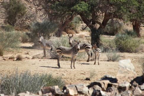 Zebras auf dem Weg zum Fish River Canyon